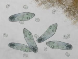 microbe paramecia