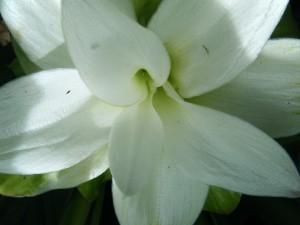 Olena Flower